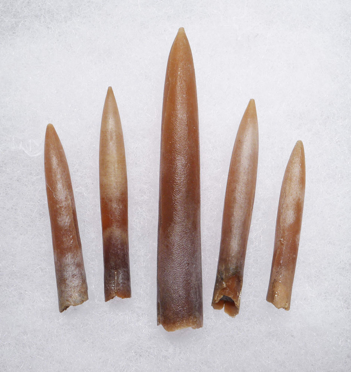 FIVE DINOSAUR ERA BELEMNITE FOSSILS OF GONIOTEUTHIS IN SOLID CALCITE *BEL109
