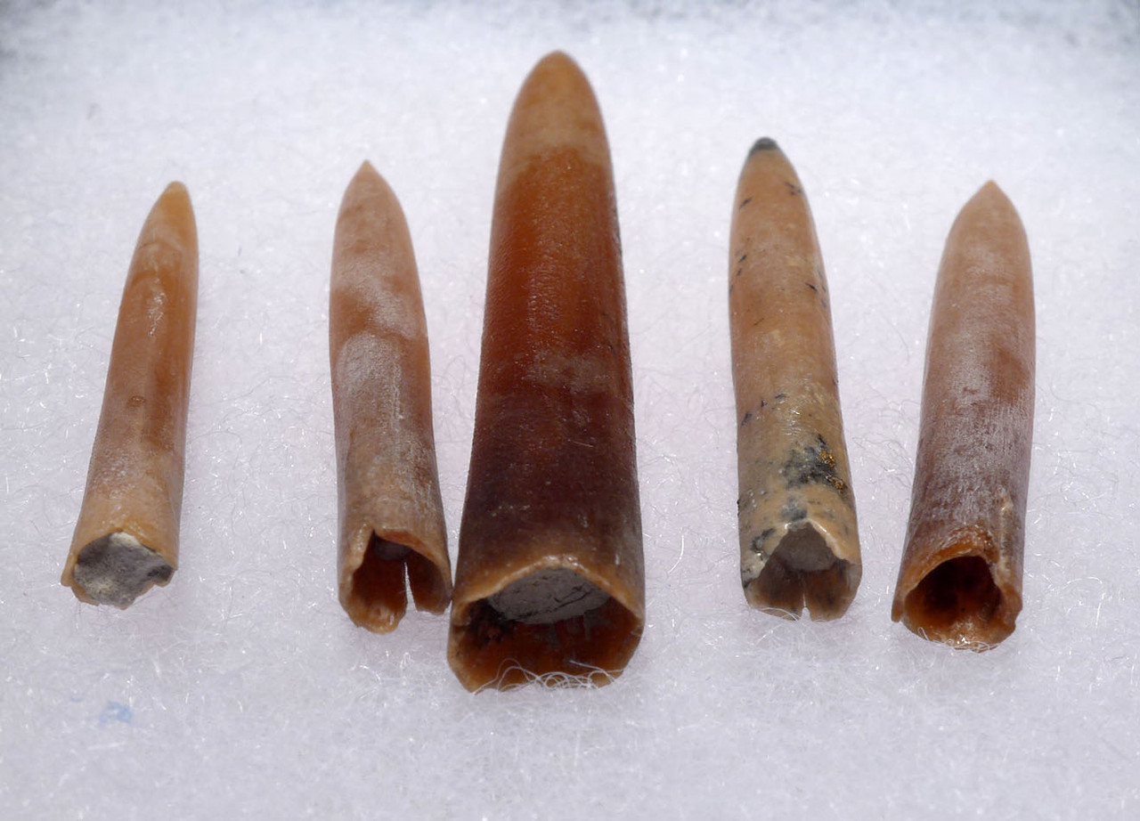 FIVE DINOSAUR ERA BELEMNITE FOSSILS OF GONIOTEUTHIS IN SOLID CALCITE *BEL108
