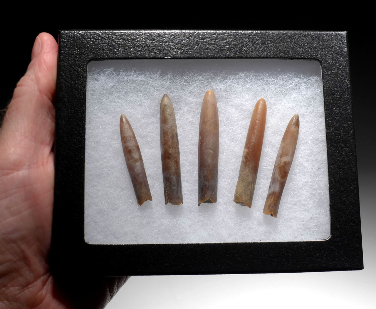 FIVE TRANSLUCENT CALCITE BELEMNITE FOSSILS OF GONIOTEUTHIS FROM THE DINOSAUR DAYS *BEL113