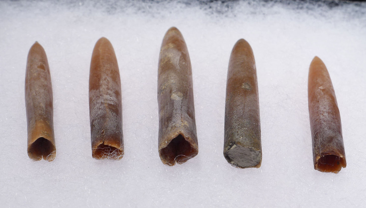 FIVE TRANSLUCENT CALCITE BELEMNITE FOSSILS OF GONIOTEUTHIS FROM THE DINOSAUR DAYS *BEL112