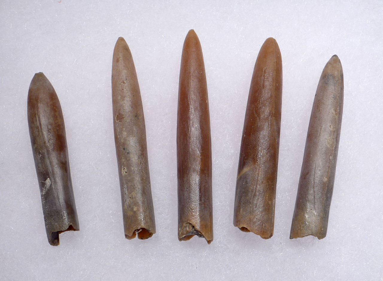 FIVE TRANSLUCENT CALCITE BELEMNITE FOSSILS OF GONIOTEUTHIS FROM THE DINOSAUR DAYS *BEL111