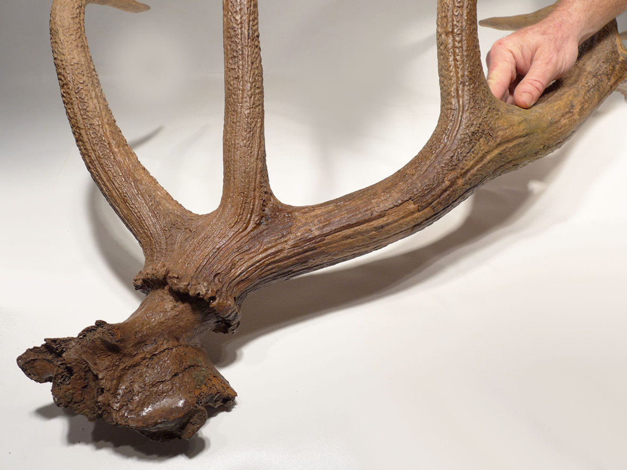 RED DEER FOSSILS EUROPE ICE AGE CERVAS FOSSIL ANTLER