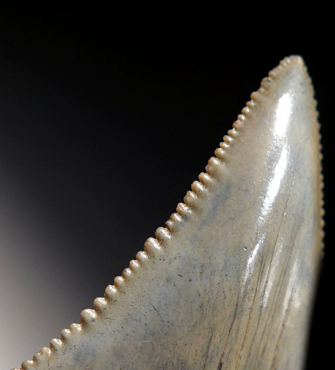 COLLECTOR GRADE LARGE 2.2 INCH GREAT WHITE SHARK TOOTH FOSSIL OF CARCHARIAS *SHX043