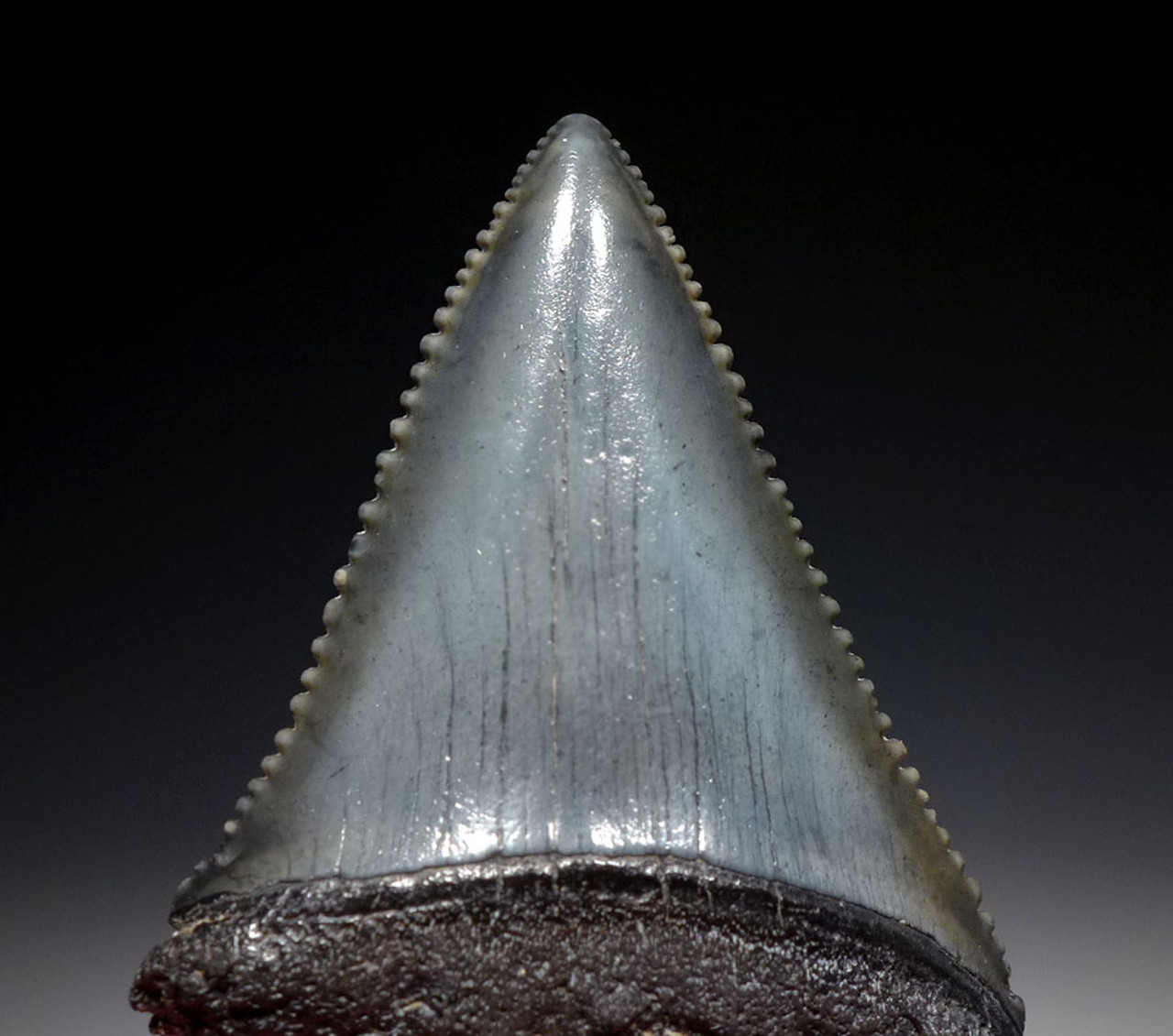 GREAT WHITE SHARK FOSSIL TOOTH 2 INCHES LONG OF CARCHARIAS *SHX076