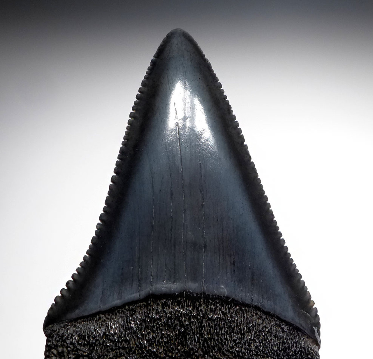 INVESTMENT GRADE LARGE FOSSIL GREAT WHITE SHARK TOOTH 2.15 INCH CARCHARIAS *SHX077