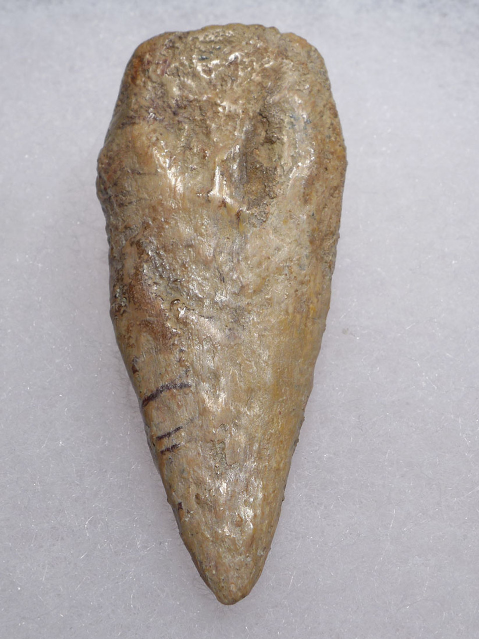 SPINOSAURUS CLAW FOSSIL FROM THE FOOT OF THE DINOSAUR *DC3