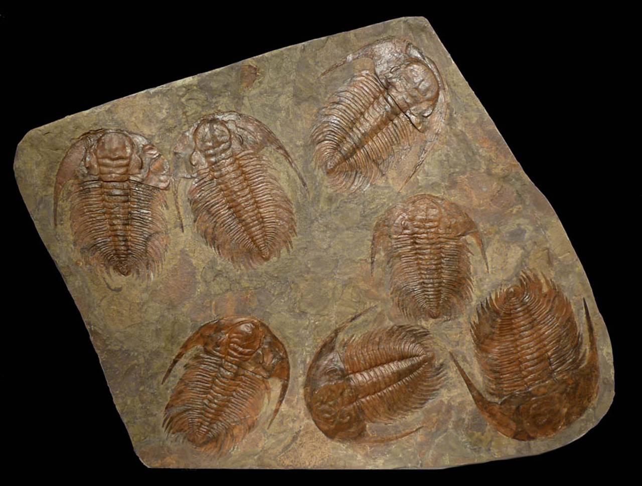 "TR1-044 - GIANT ""EXTINCTION EVENT"" CAMBRIAN FOSSIL WITH SEVEN LARGE SCIENTIFIC GRADE PARADOXIDES TRILOBITES"