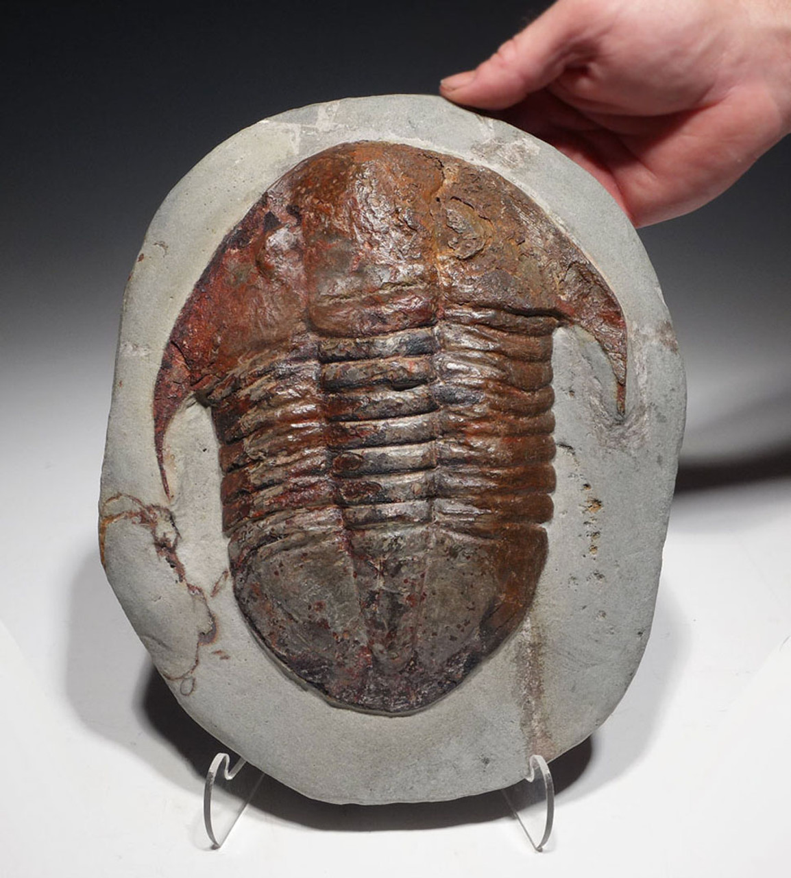 TRILOBITE FOR SALE