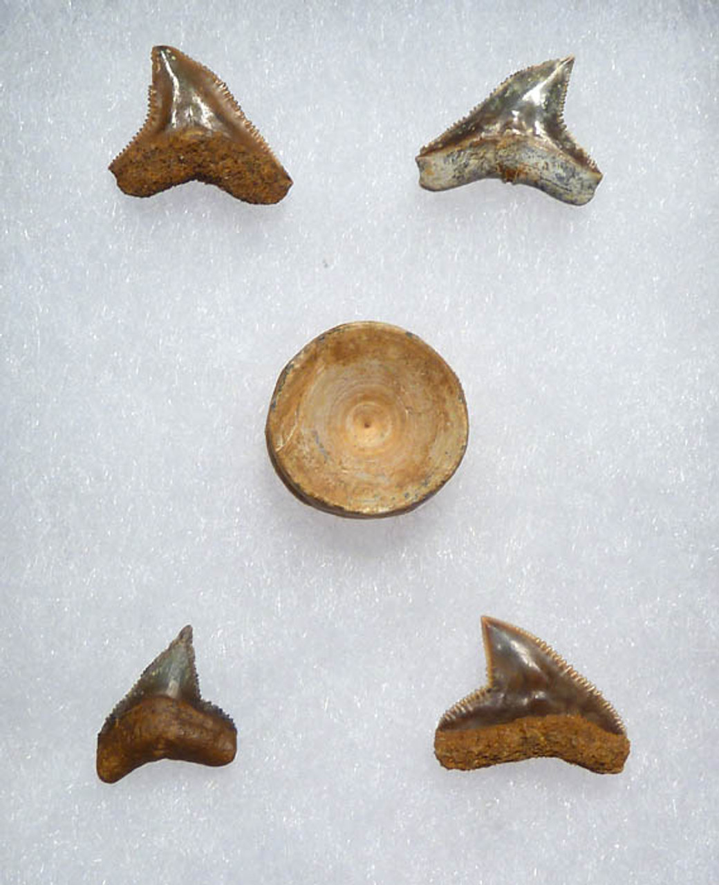 EXTREMELY RARE BULL SHARK TEETH AND A VERTEBRA FROM THE EOCENE PERIOD OF NIGER *SHX027