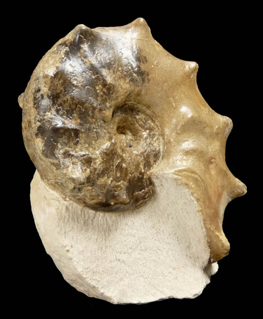 FANTASTIC CRETACEOUS HORNED AMMONITE FOSSIL *AMX164