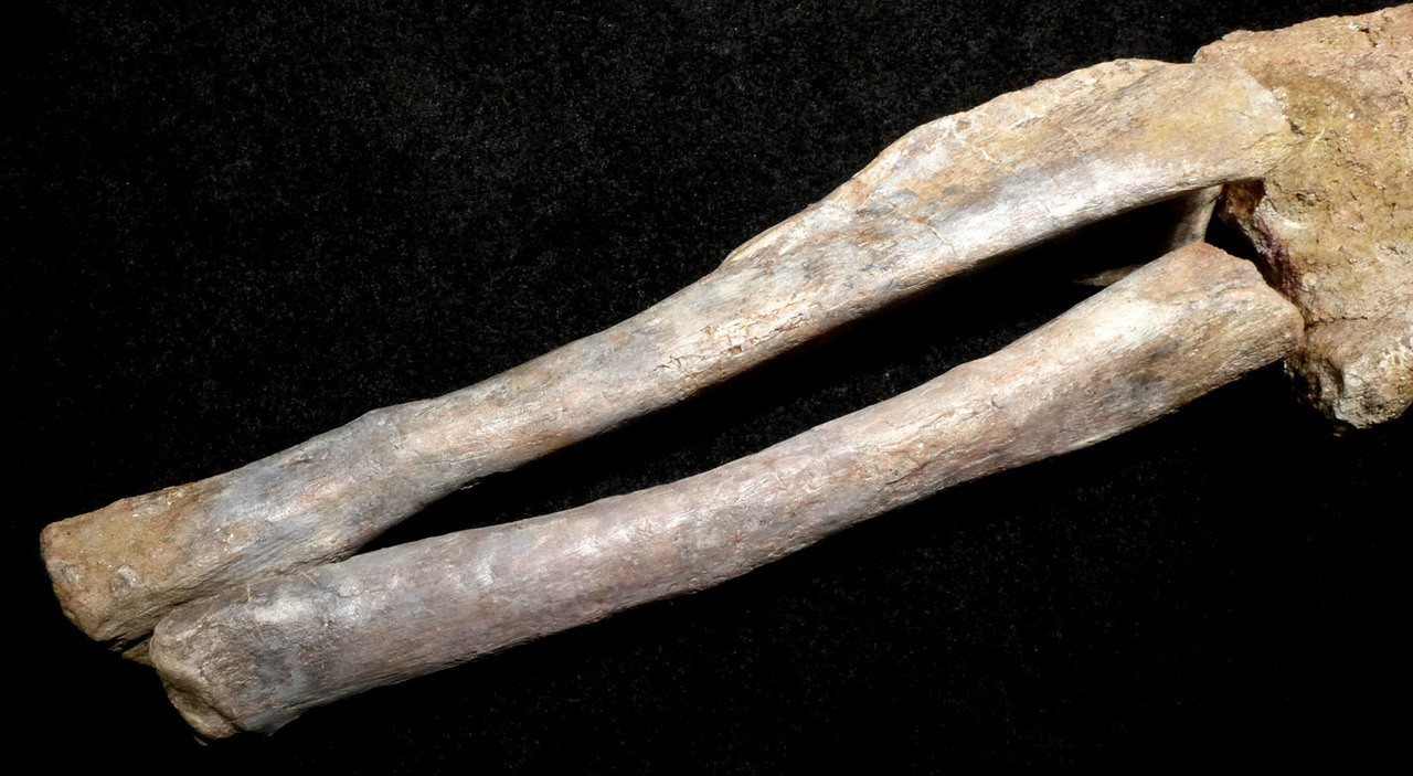 DINOSAUR LEG SAUROPOD FOSSIL BONES