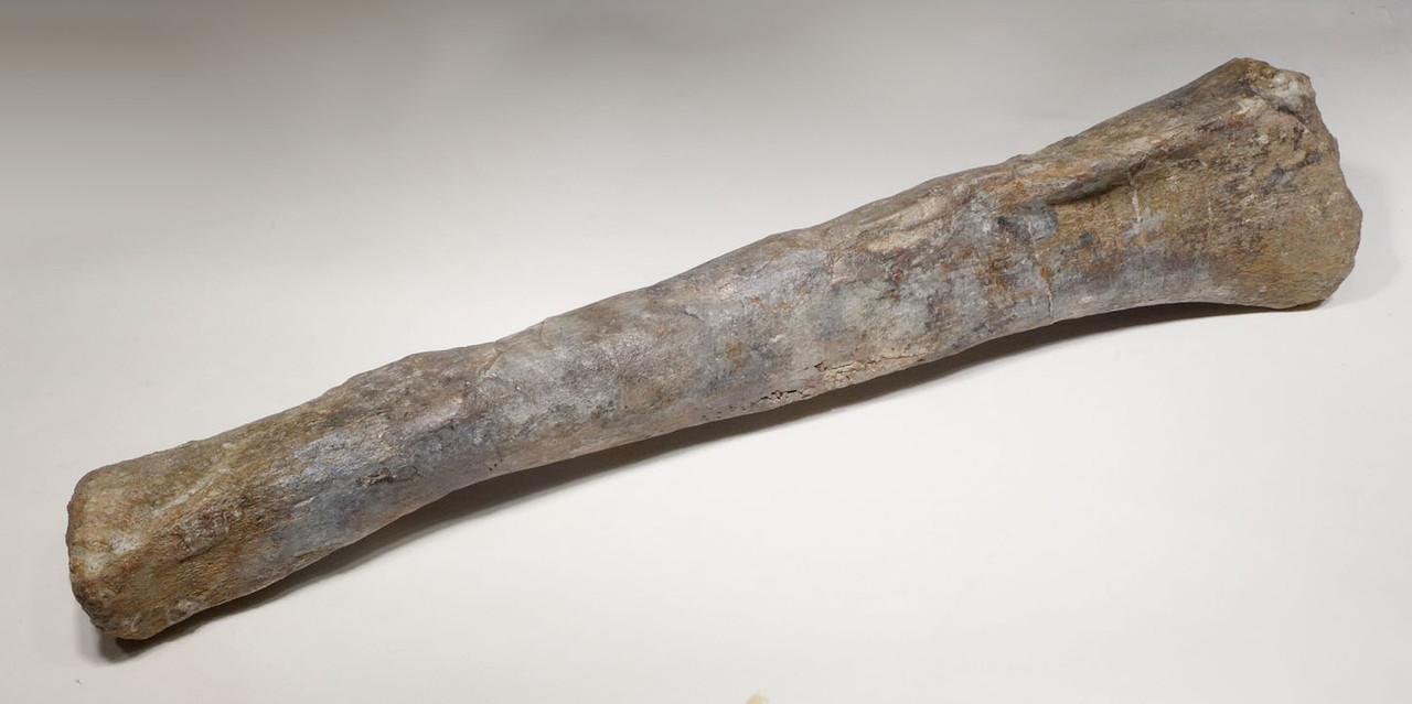 RARE AFRICAN SAUROPOD TIBIA FOSSIL DINOSAUR LEG BONE FROM A DIPLODOCOID *DBX029