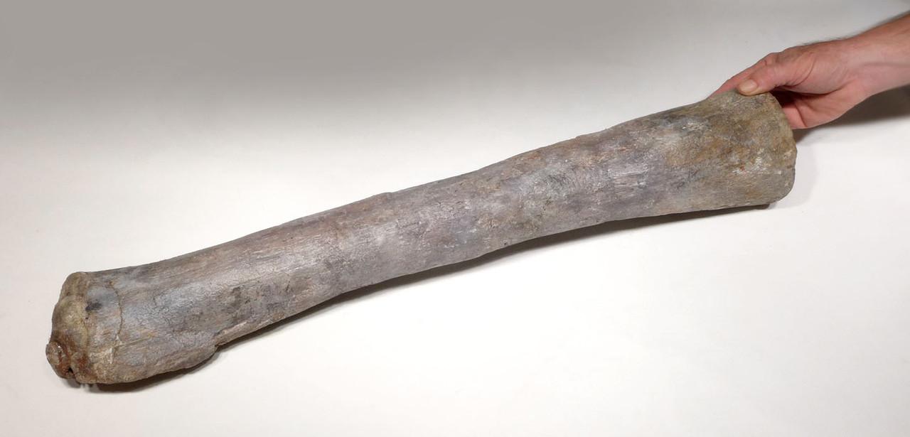 RARE AFRICAN SAUROPOD FIBULA FOSSIL DINOSAUR LEG BONE FROM A DIPLODOCOID *DBX031