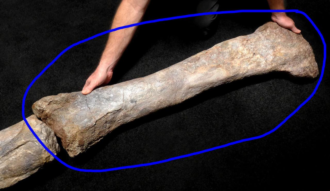 RARE AFRICAN SAUROPOD FEMUR FOSSIL DINOSAUR LEG BONE FROM A DIPLODOCOID *DBX030