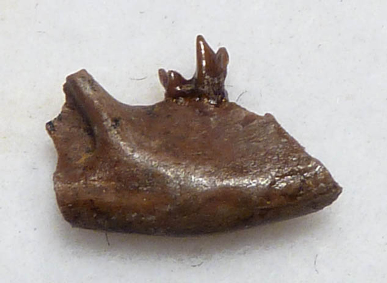FOSSIL PARTIAL MANDIBLE FROM A DINOSAUR-ERA MAMMAL MULTITUBERCULATE *MM018