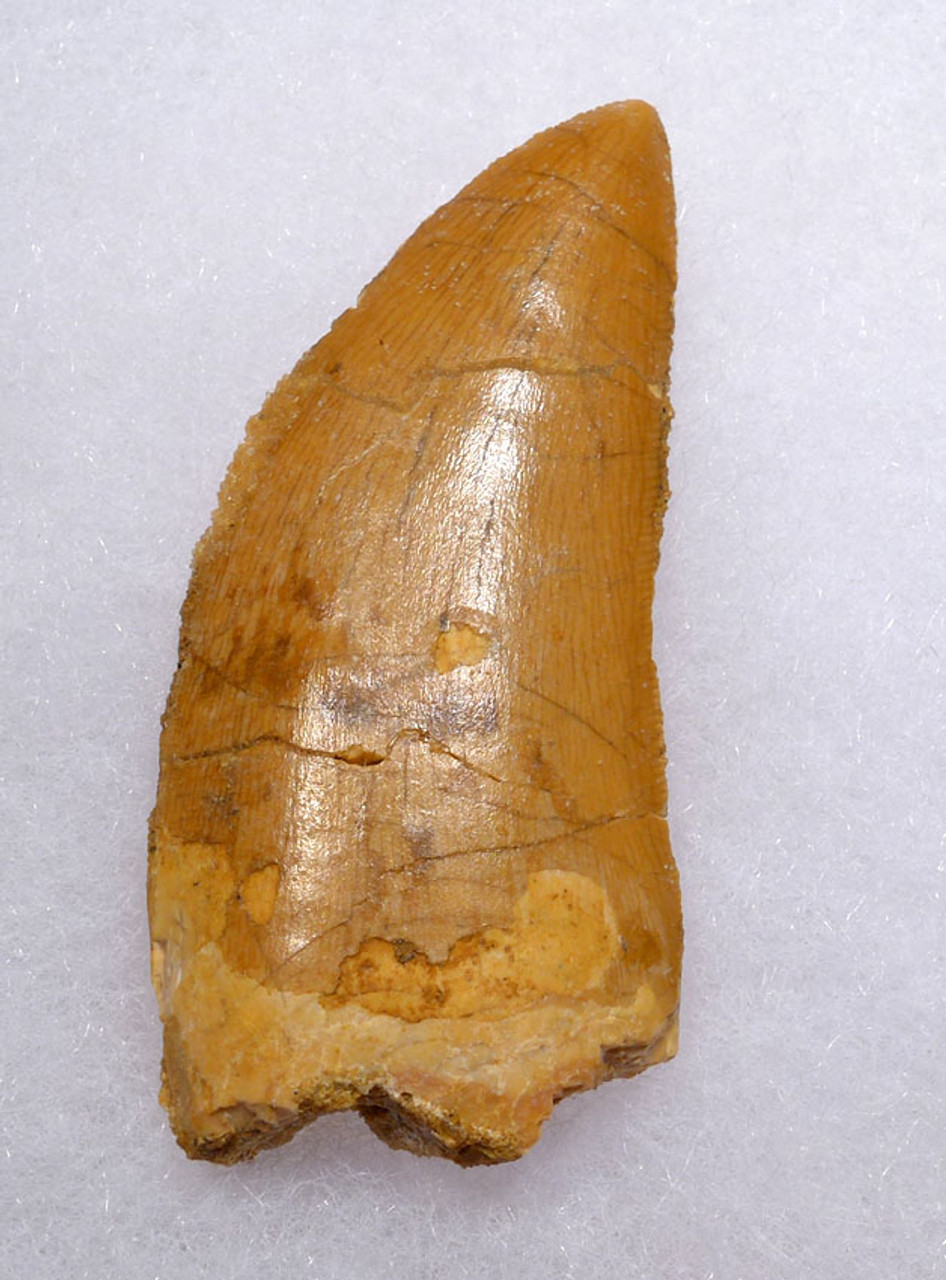 LARGE 2.3 INCH FOSSIL DINOSAUR TOOTH FROM A DELTADROMEUS AGILIS *DT11-040