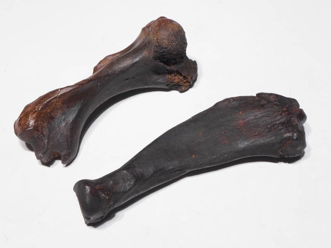TWO COMPLETE PREHISTORIC SEAL LIMB BONES FROM THE SOUTHEAST UNITED STATES *LMX089