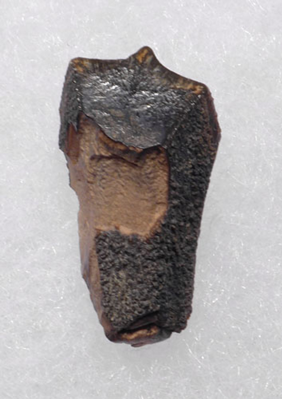 FOSSIL DINOSAUR TOOTH FROM A BRACHYLOPHOSAURUS HADROSAUR *DT70-030