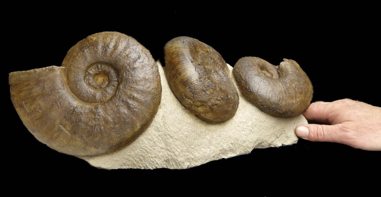 LARGE DARK BROWN GROUP OF JURASSIC AMMONITES ON MATRIX  *AMX156