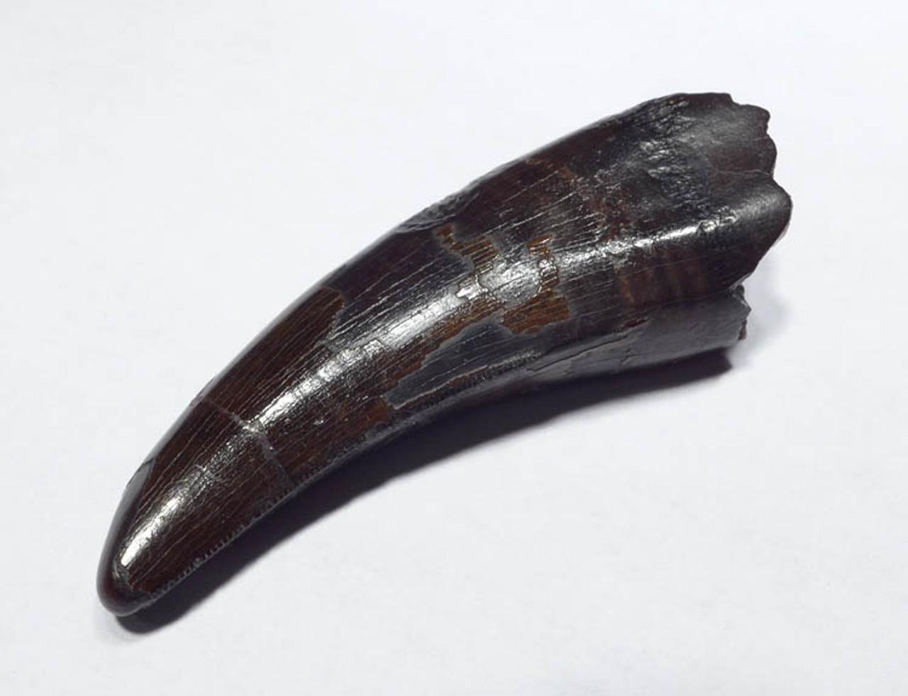 SUPREME QUALITY 2.2 INCH TYRANNOSAURUS T REX DINOSAUR TOOTH *DT18-079