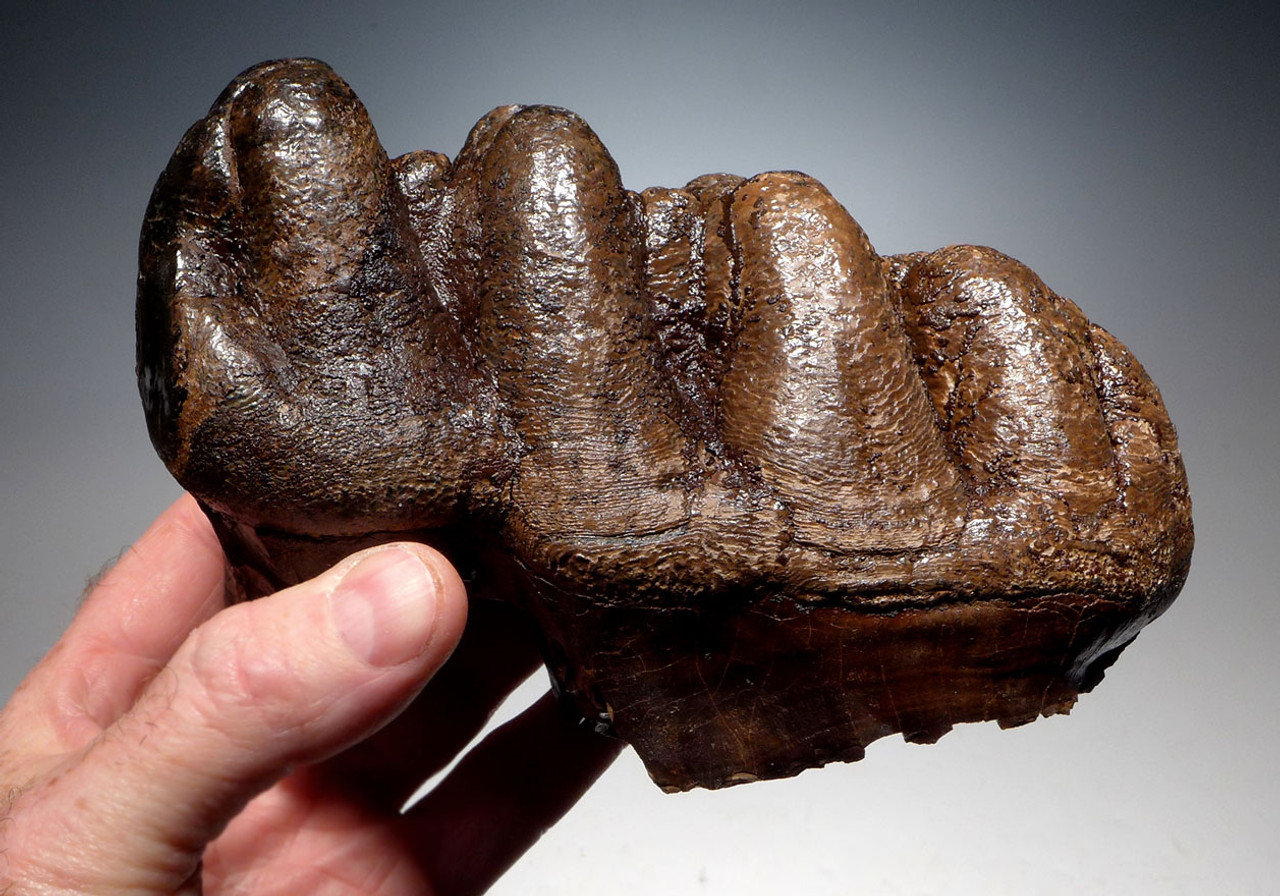 FINEST LARGE FOSSIL UNERUPTED MOLAR TOOTH FROM A GOMPHOTHERE PREHISTORIC ELEPHANT *LMX191