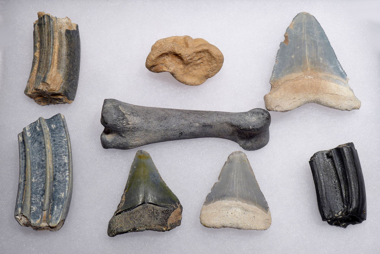 COLLECTION OF VERTEBRATE FOSSILS FROM THE FAMOUS BONE VALLEY FORMATION *BVX001