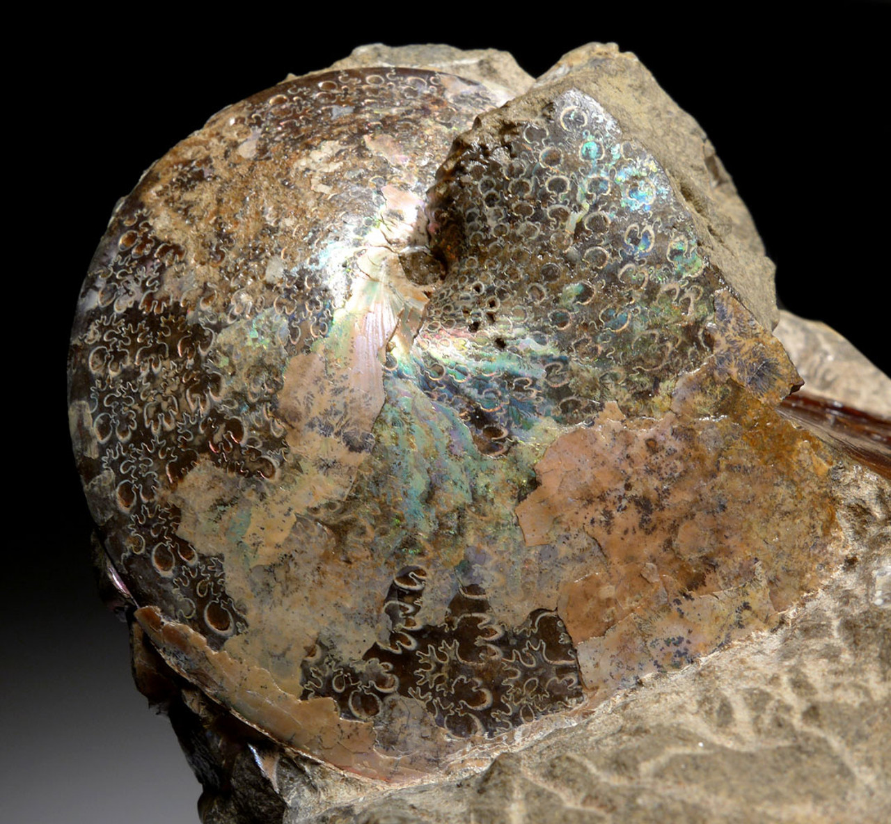 IRIDESCENT PIERRE SHALE AMMONITE FOSSILS FROM SOUTH DAKOTA WITH GEM COLORS  *AMSD1