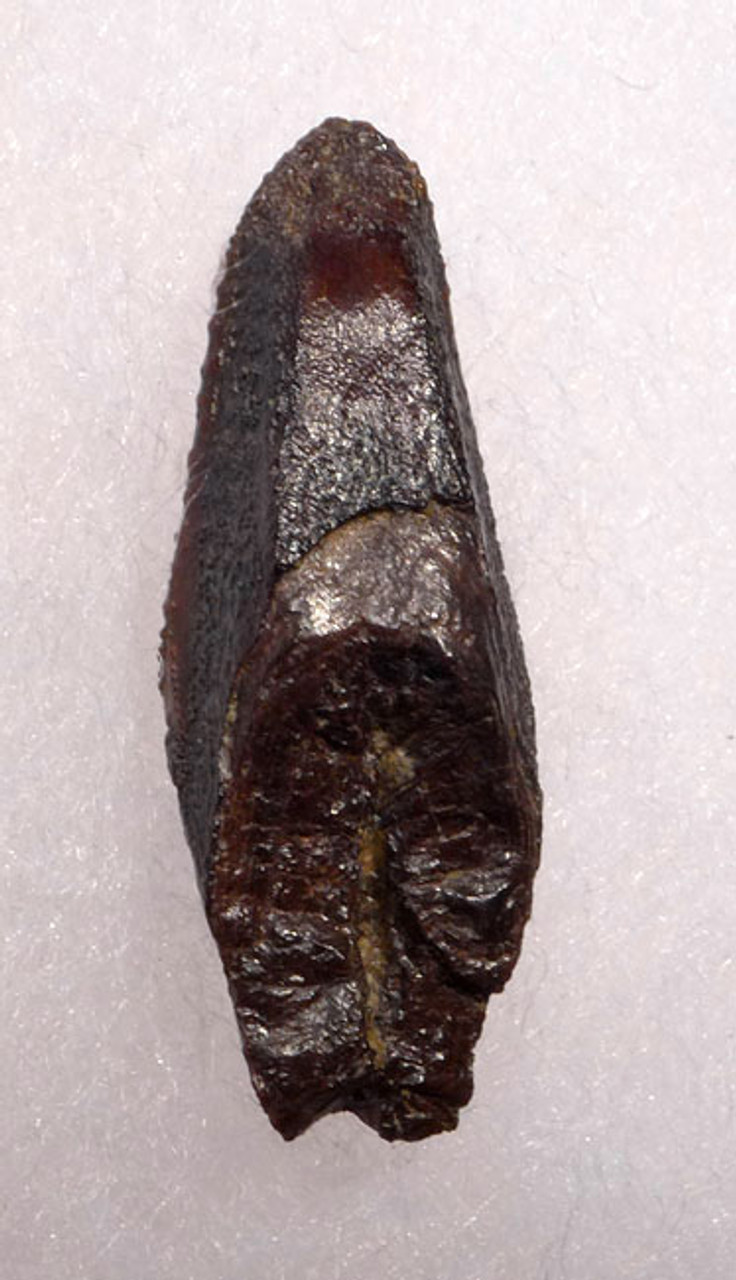 FINEST EDMONTOSAURUS HADROSAUR DINOSAUR TOOTH FROM THE LANCE FORMATION *DT7-033