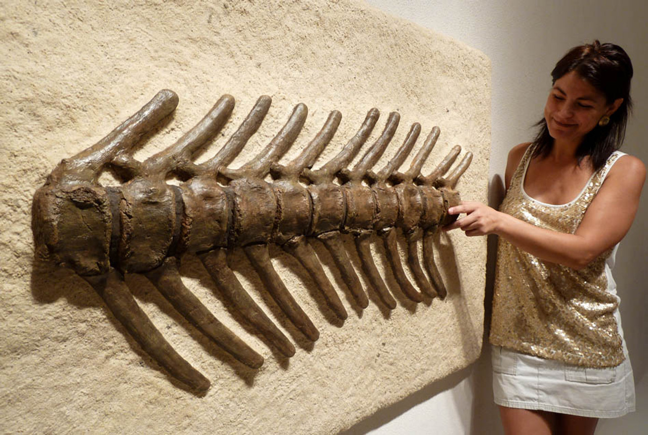 ANATOTITAN HADROSAUR DINOSAUR VERTEBRAL COLUMN MOUNTED 'AS FOUND'  FROM SAME DINOSAUR *DB7-013