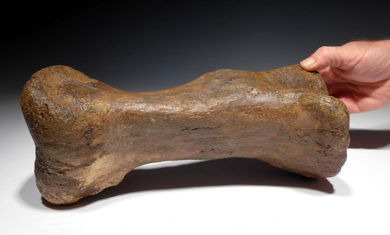 MASSIVE FOSSIL TRICERATOPS DINOSAUR METATARSAL FOOT BONE *DBXT1