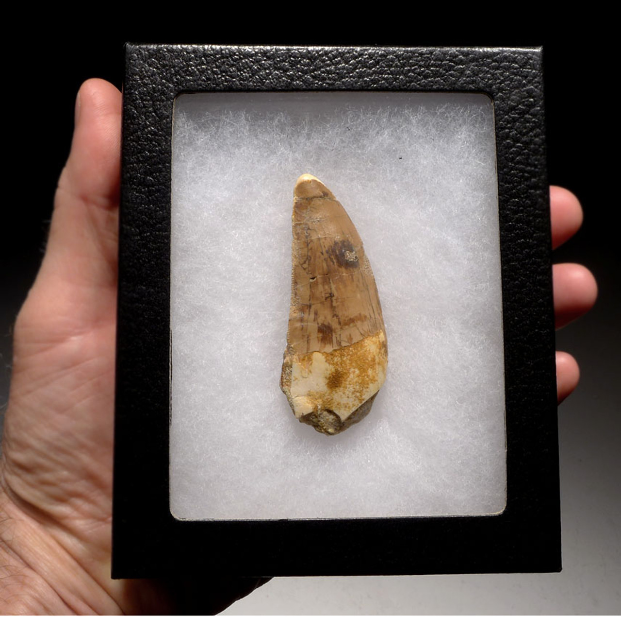 CARCHARODONTOSAURUS 3 INCH FOSSIL TOOTH FROM THE LARGEST MEAT-EATING DINOSAUR *DT2-086