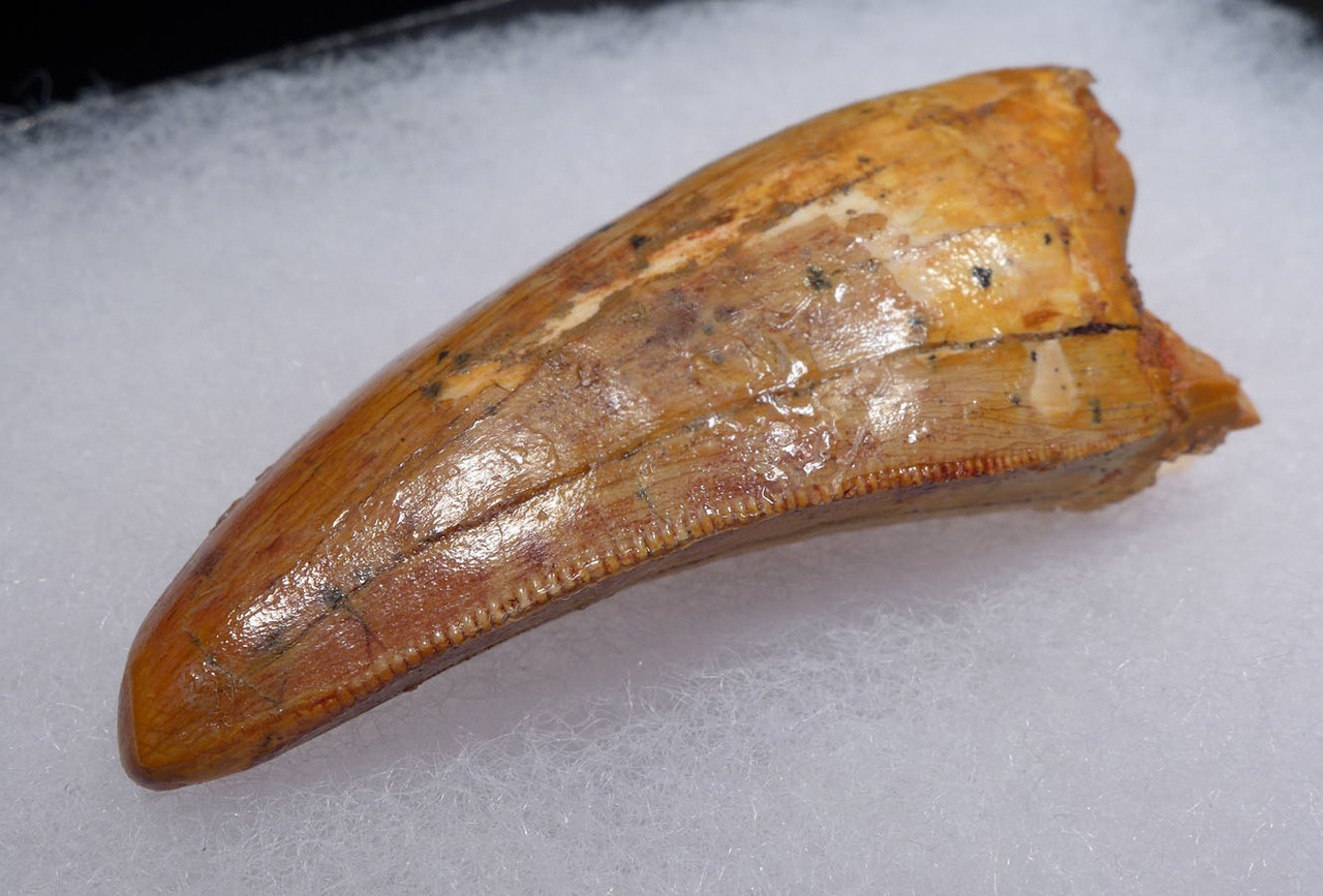 COLORFUL UNBROKEN CARCHARODONTOSAURUS FOSSIL TOOTH FROM THE LARGEST MEAT-EATING DINOSAUR *DT2-103
