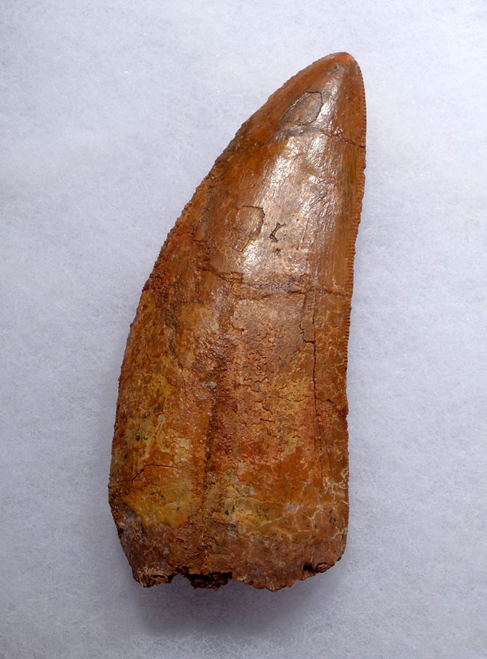 HUGE 3.7 INCH FOSSIL DINOSAUR TOOTH FROM MEAT-EATING CARCHARODONTOSAURUS  *DT2-104