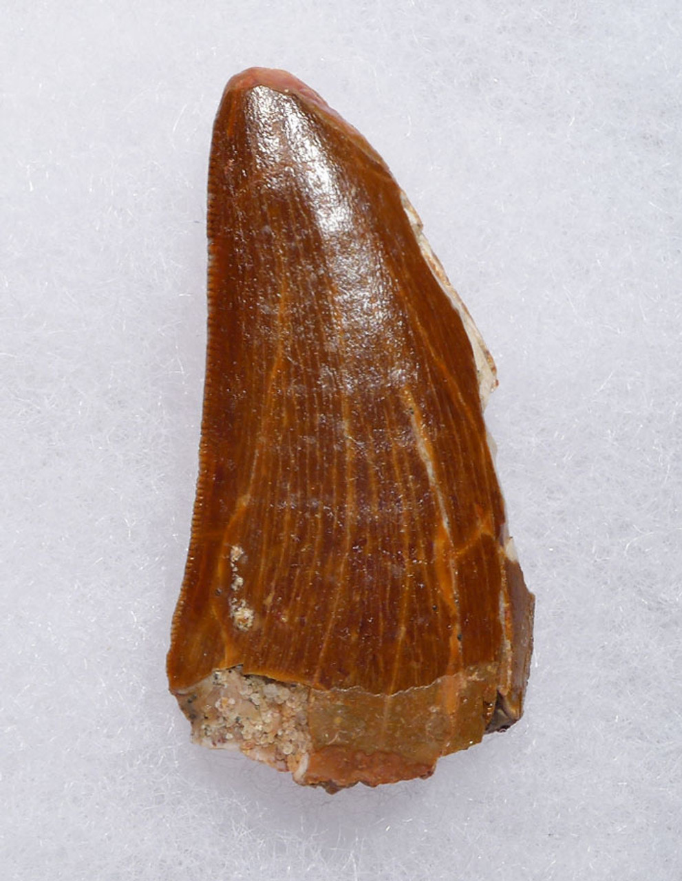 AFFORDABLE CARCHARODONTOSAURUS DINOSAUR TOOTH WITH SERRATIONS AND FEEDING WEAR  *DT2-111