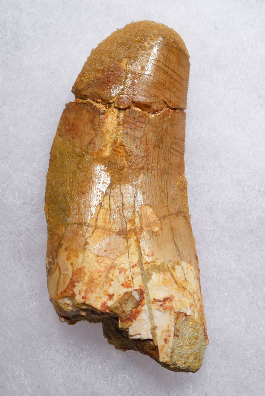 LARGE INEXPENSIVE CARCHARODONTOSAURUS FOSSIL DINOSAUR TOOTH  *DT2-107