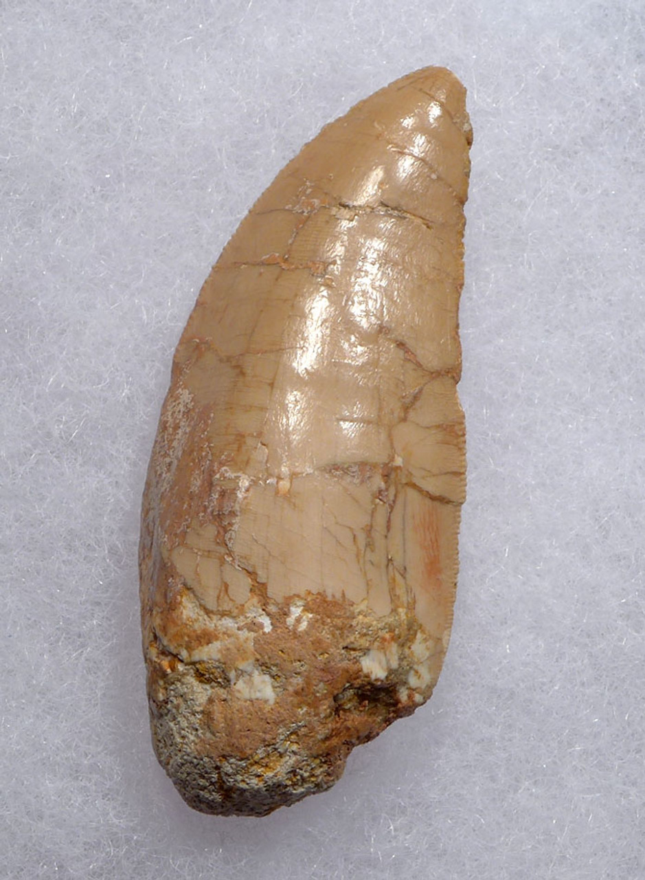 JUVENILE DINOSAUR TOOTH FROM A CARCHARODONTOSAURUS  *DT2-109