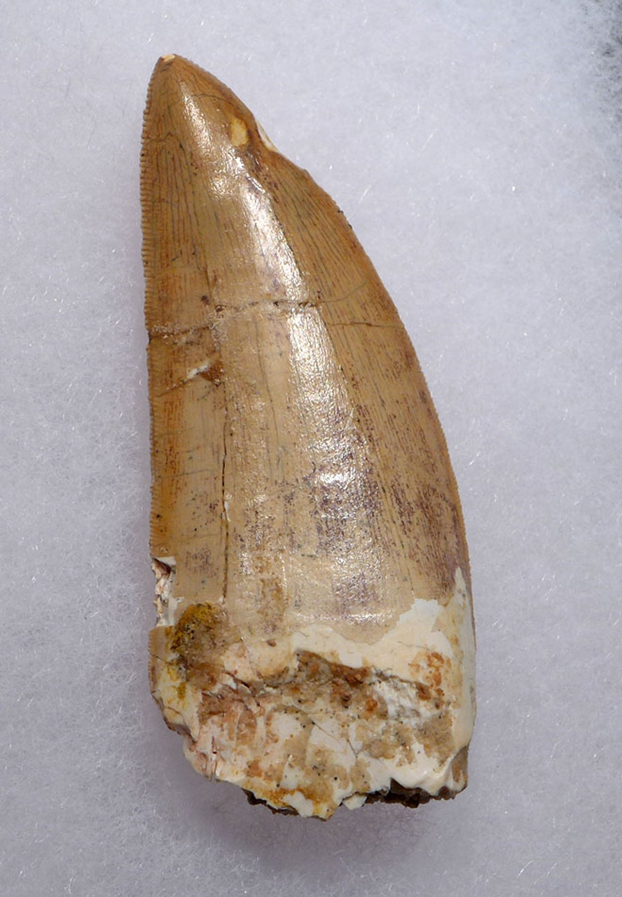 LIGHT COLOR CARCHARODONTOSAURUS 2.8 INCH FOSSIL TOOTH FROM THE LARGEST MEAT-EATING DINOSAUR *DT2-114