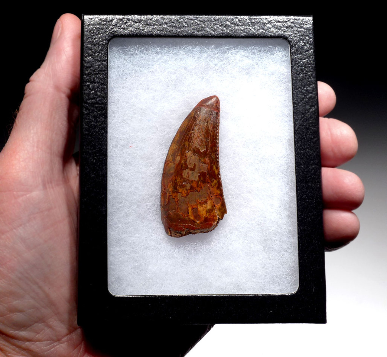 CARCHARODONTOSAURUS 2.25 INCH FOSSIL TOOTH WITH DARK RED COLORED ENAMEL  *DT2-108