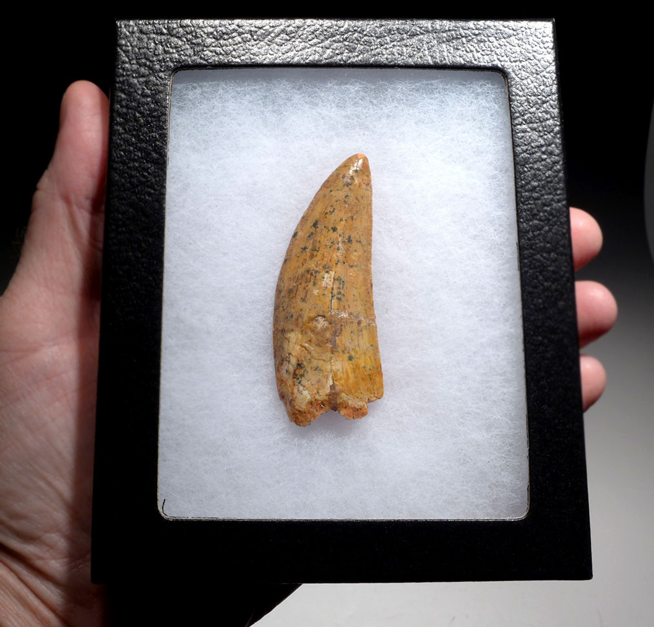 LARGE 3 INCH CARCHARODONTOSAURUS FOSSIL TOOTH FROM THE LARGEST MEAT-EATING DINOSAUR *DT2-113