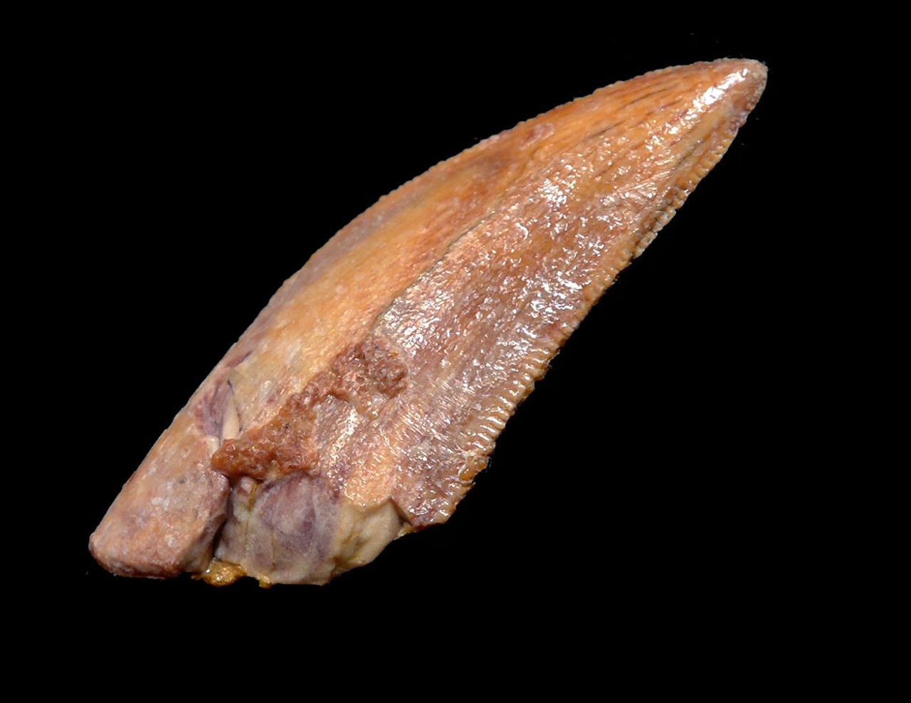 "LARGE COLORFUL DROMAEOSAUR "" RAPTOR "" FOSSIL DINOSAUR TOOTH *DT6-315"