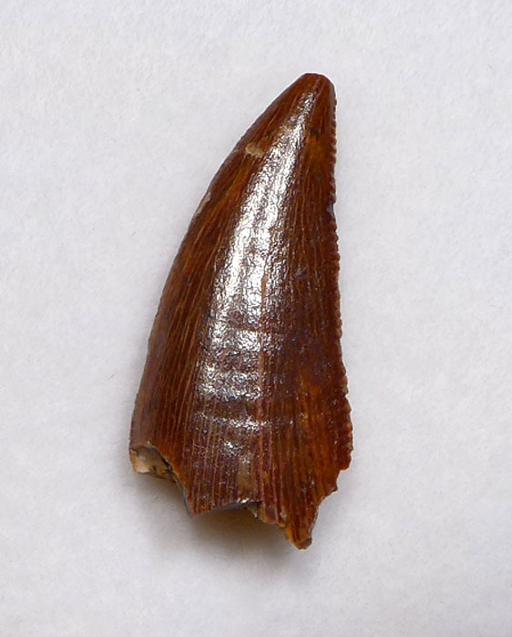 RAPTOR TOOTH FROM A LARGE DROMAEOSAUR DINOSAUR  *DT6-317