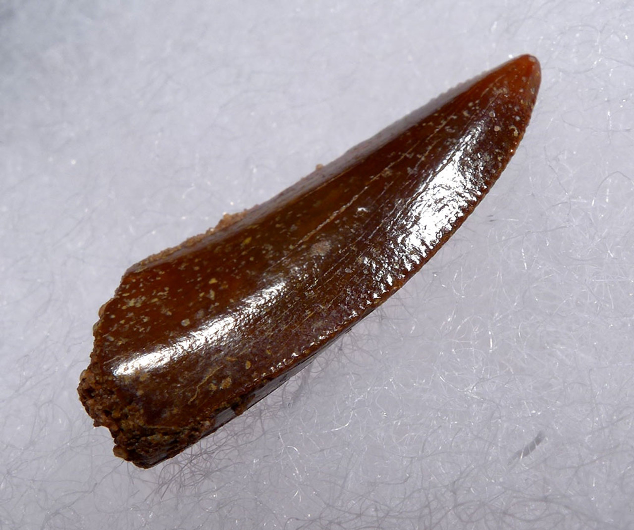 """ RAPTOR "" FOSSIL DINOSAUR TOOTH FROM A LARGE DROMAEOSAUR *DT6-312"