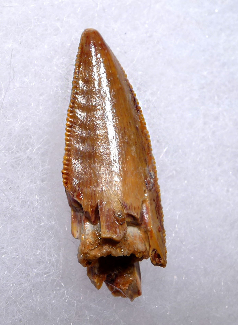 SUPERB LARGE ' RAPTOR ' DINOSAUR DROMAEOSAUR TOOTH WITH PUMPKIN ORANGE ENAMEL  *DT6-314