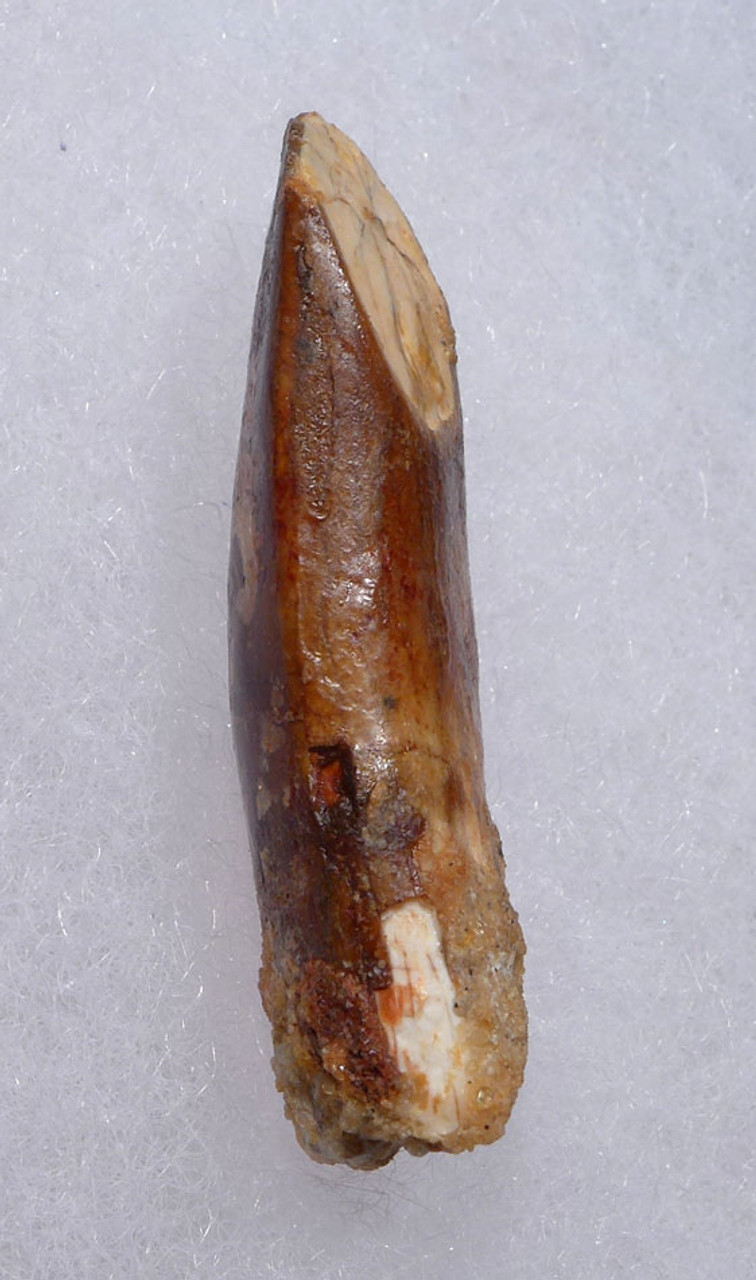 EXCEPTIONAL FOSSIL DINOSAUR TOOTH FROM A DIPLODOCOID SAUROPOD DINOSAUR *DT9-037