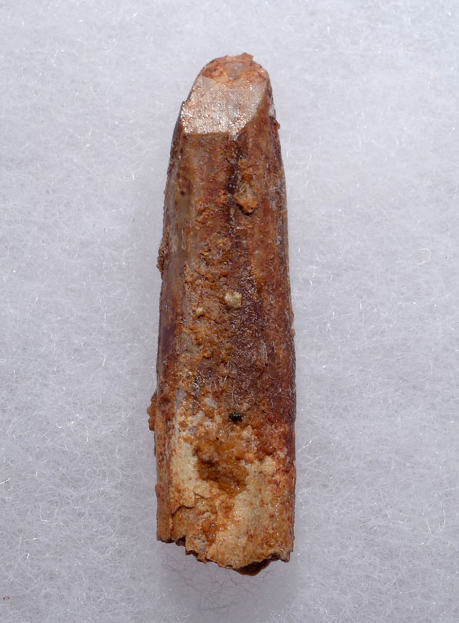 INEXPENSIVE LONG-NECKED DINOSAUR FOSSIL TOOTH FROM A DIPLODOCOID SAUROPOD *DT9-034