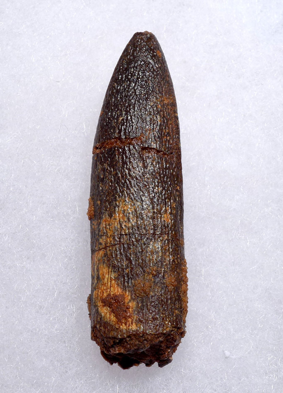 LARGE FOSSIL TOOTH FROM A TITANOSAUR SAUROPOD DINOSAUR  *DT9-039