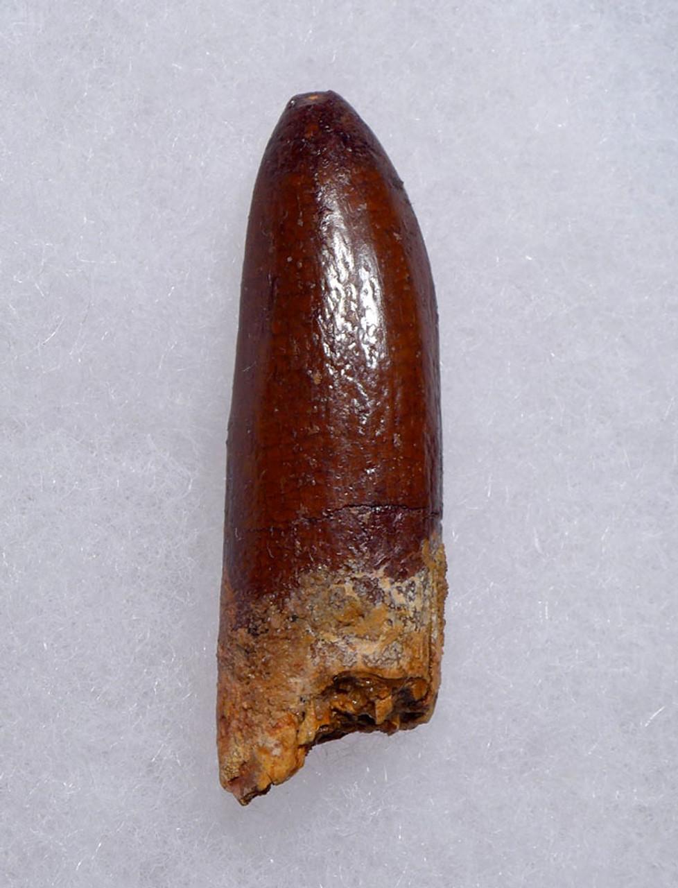 FINEST LARGE SAUROPOD FOSSIL DINOSAUR TOOTH FROM NORTH AFRICA  *DT9-038