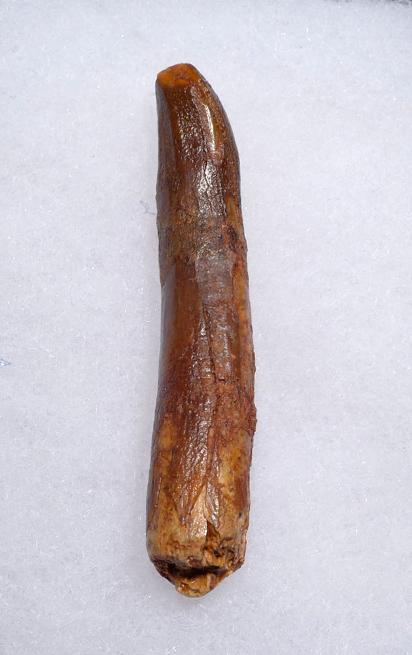 INEXPENSIVE COMPOSITE FOSSIL DINOSAUR TOOTH FROM A LARGE PLANT-EATING SAUROPOD *DT9-036