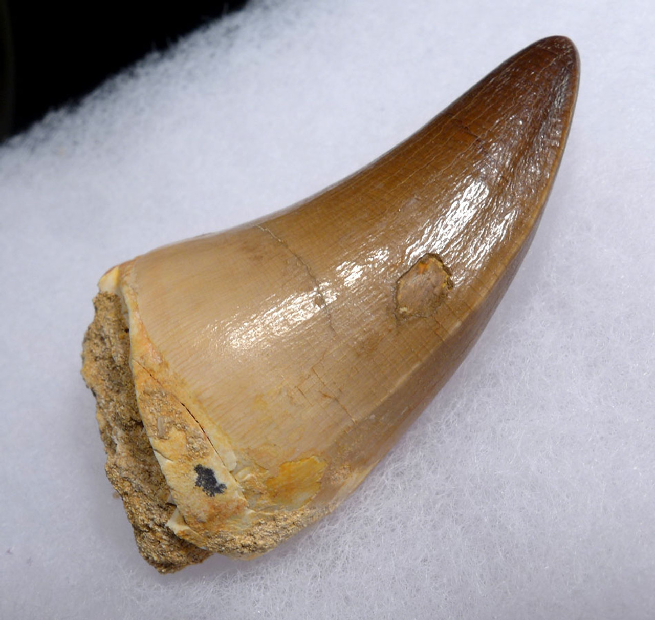 IMPRESSIVE LARGE FOSSIL TOOTH FROM A HUGE MOSASAUR MARINE REPTILE *DT1-132