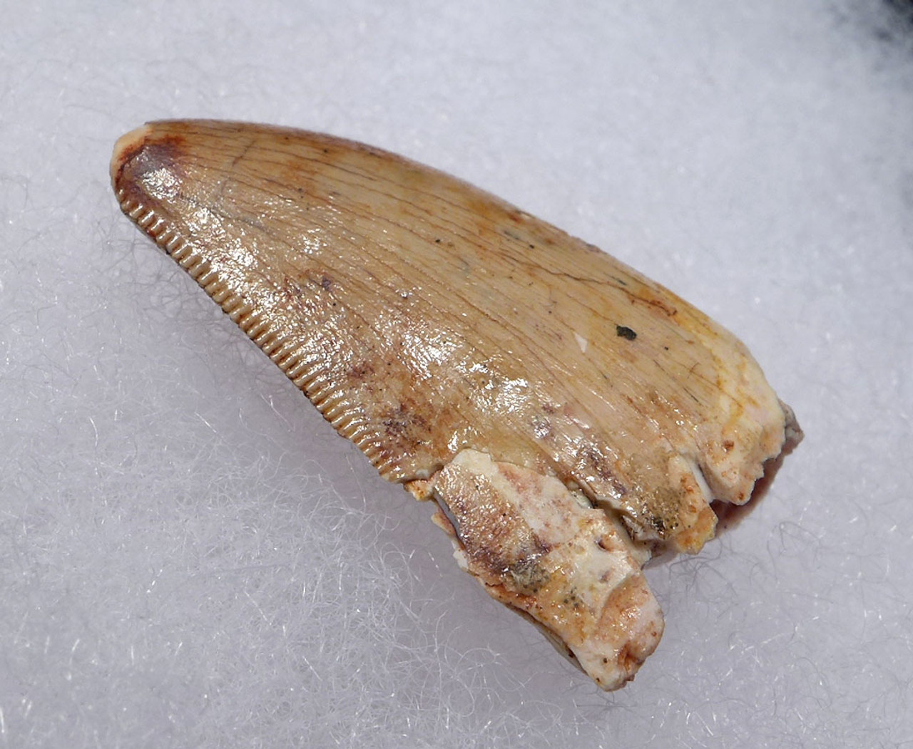 INEXPENSIVE POSTERIOR CARCHARODONTOSAURUS FOSSIL DINOSAUR TOOTH  *DT2-117